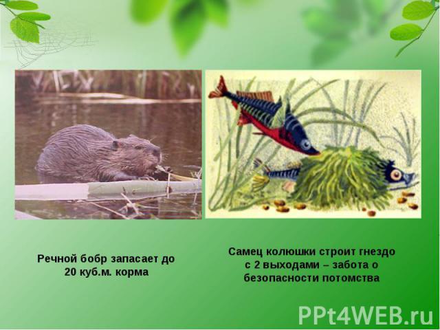 Речной бобр запасает до 20 куб.м. корма Самец колюшки строит гнездо с 2 выходами – забота о безопасности потомства