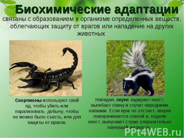 Биохимические адаптации связаны с образованием в организме определенных веществ, облегчающих защиту от врагов или нападение на других животных Скорпионы используют свой яд, чтобы убить или парализовать добычу, чтобы ее можно было съесть, или для защ…