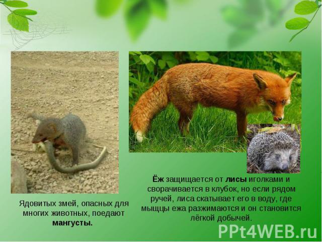 Ядовитых змей, опасных для многих животных, поедают мангусты. Ёж защищается от лисы иголками и сворачивается в клубок, но если рядом ручей, лиса скатывает его в воду, где мыщцы ежа разжимаются и он становится лёгкой добычей.