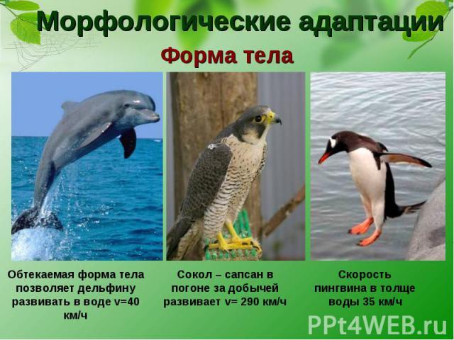 Морфологические адаптации Форма тела Обтекаемая форма тела позволяет дельфину развивать в воде v=40 км/ч Сокол – сапсан в погоне за добычей развивает v= 290 км/ч Скорость пингвина в толще воды 35 км/ч
