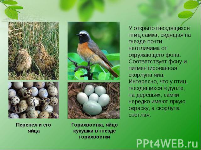 Перепел и его яйца Горихвостка, яйцо кукушки в гнезде горихвостки У открыто гнездящихся птиц самка, сидящая на гнезде почти неотличима от окружающего фона. Соответствует фону и пигментированная скорлупа яиц. Интересно, что у птиц, гнездящихся в дупл…