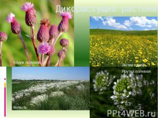 Дикорастущие растения.