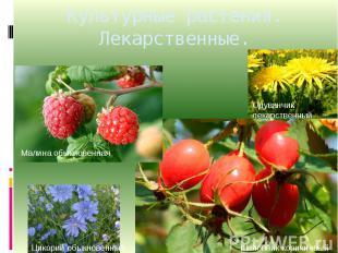 Культурные растения. Лекарственные.