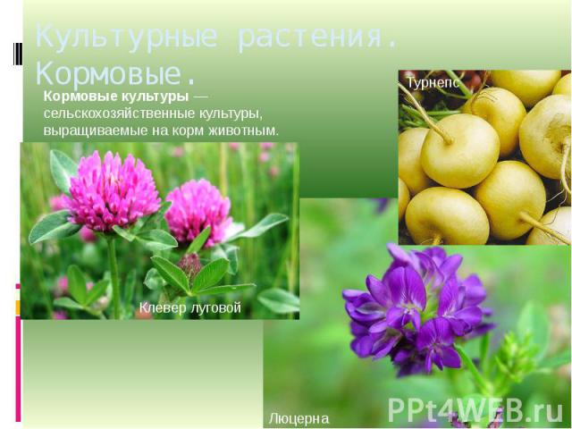 Культурные растения. Кормовые. Кормовые культуры— сельскохозяйственные культуры, выращиваемые накормживотным.