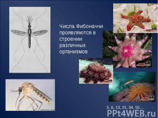 Числа Фибоначчи проявляются в строенииразличных организмов 5, 8, 13, 21, 34, 55…