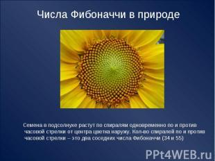 Числа Фибоначчи в природе Семена в подсолнухе растут по спиралям одновременно по
