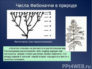 Числа Фибоначчи в природе Филлотаксис (листорасположение) «Золотое сечение» встр