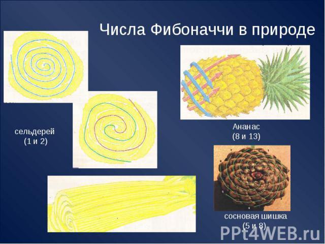 Числа Фибоначчи в природе сельдерей (1 и 2) Ананас(8 и 13) сосновая шишка (5 и 8)