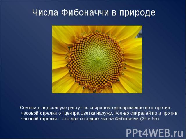 Числа Фибоначчи в природе Семена в подсолнухе растут по спиралям одновременно по и против часовой стрелки от центра цветка наружу. Кол-во спиралей по и против часовой стрелки – это два соседних числа Фибоначчи (34 и 55)