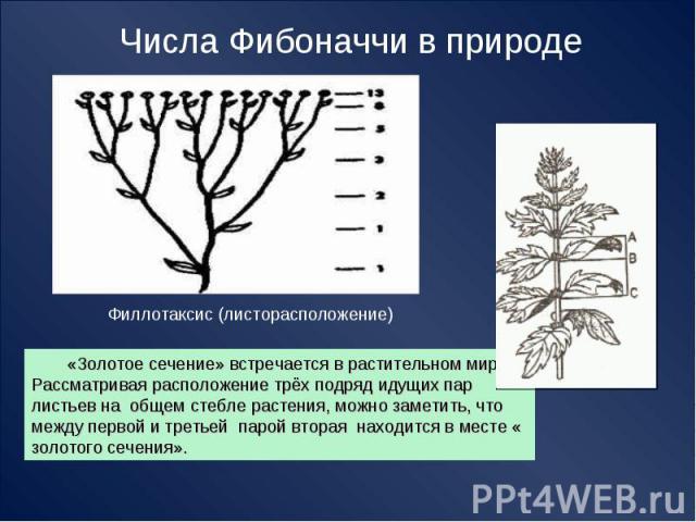 Числа Фибоначчи в природе Филлотаксис (листорасположение) «Золотое сечение» встречается в растительном мире. Рассматривая расположение трёх подряд идущих пар листьев на общем стебле растения, можно заметить, что между первой и третьей парой вторая н…