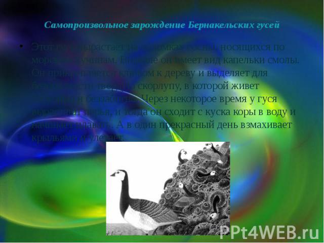 Самопроизвольное зарождение Бернакельских гусей Этот гусь вырастает на обломках сосны, носящихся по морским пучинам. Вначале он имеет вид капельки смолы. Он прикрепляется клювом к дереву и выделяет для безопасности твердую скорлупу, в которой живет …