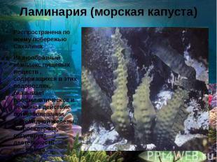 Ламинария (морская капуста) Распространена по всему побережью Сахалина. Разнообр