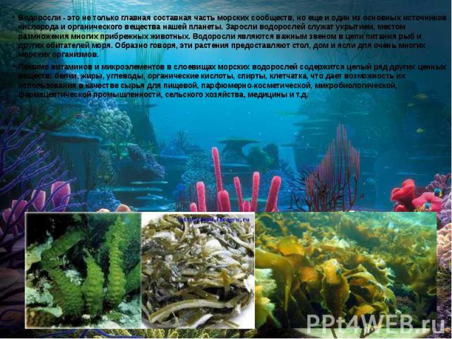 Водоросли - это не только главная составная часть морских сообществ, но еще и один из основных источников кислорода и органического вещества нашей планеты. Заросли водорослей служат укрытием, местом размножения многих прибрежных животных. Водоросли …