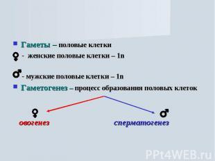 Гаметы – половые клетки - женские половые клетки – 1n - мужские половые клетки –