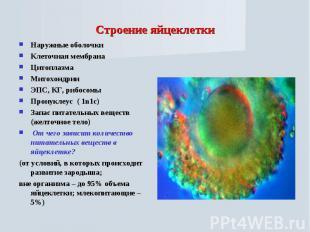 Строение яйцеклетки Наружные оболочкиКлеточная мембранаЦитоплазмаМитохондрииЭПС,