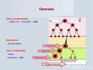 Овогенез Зона размножения митоз (3) – 8 клеток – 2n4cЗона роста рост клеток Зона