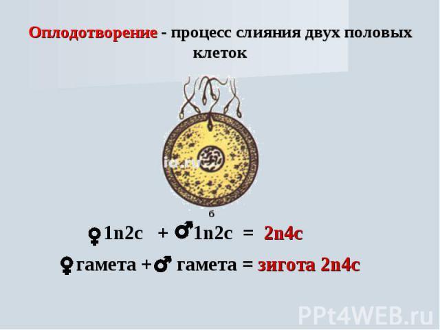 Оплодотворение - процесс слияния двух половых клеток 1n2с + 1n2с = 2n4с гамета + гамета = зигота 2n4с