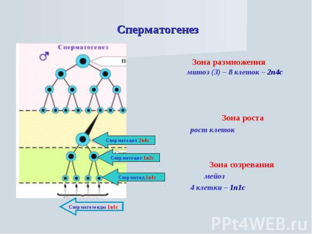 Сперматогенез Зона размножения митоз (3) – 8 клеток – 2n4c Зона роста рост клеток Зона созревания мейоз 4 клетки – 1n1c