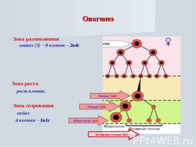 Овогенез Зона размножения митоз (3) – 8 клеток – 2n4cЗона роста рост клеток Зона созревания мейоз 4 клетки – 1n1c