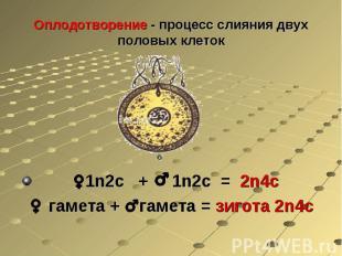 Оплодотворение - процесс слияния двух половых клеток 1n2с + 1n2с = 2n4с гамета +