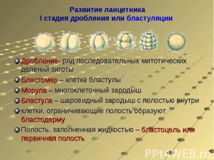 Развитие ланцетникаI стадия дробления или бластуляции Дробление- ряд последовате