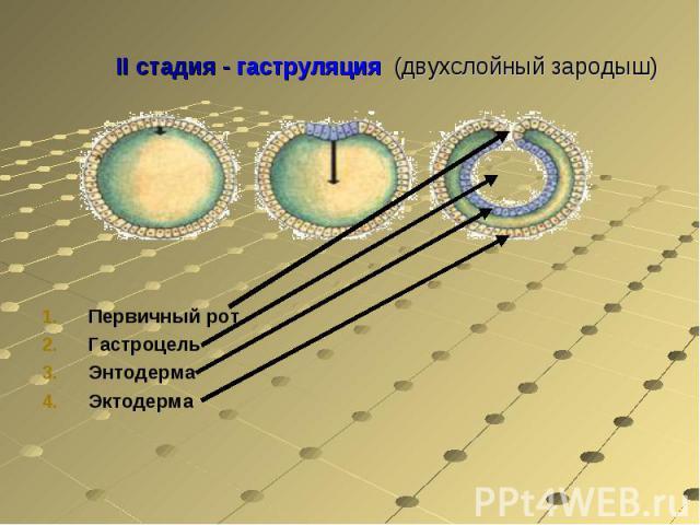 Первичный ротГастроцельЭнтодермаЭктодерма