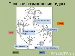 Половое размножение гидры