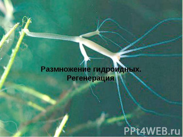 Размножение гидроидных.Регенерация.