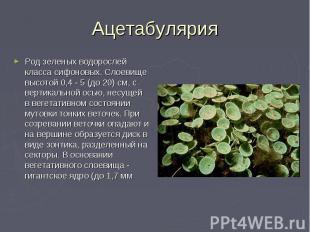 Ацетабулярия Род зеленых водорослей класса сифоновых. Слоевище высотой 0,4 - 5 (