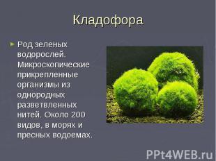 Кладофора Род зеленых водорослей. Микроскопические прикрепленные организмы из од