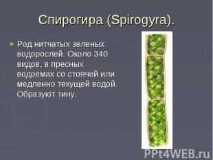 Спирогира (Spirogyra). Род нитчатых зеленых водорослей. Около 340 видов, в пресн