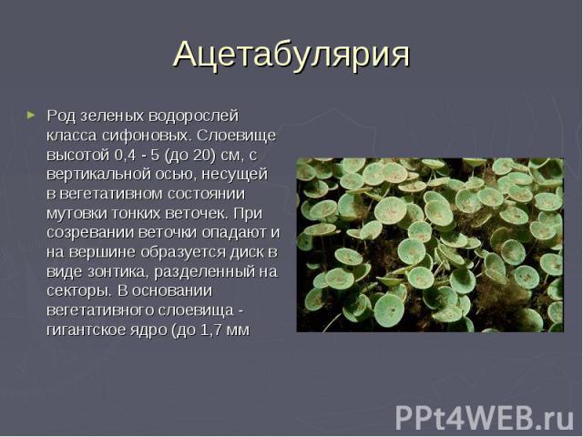 Ацетабулярия Род зеленых водорослей класса сифоновых. Слоевище высотой 0,4 - 5 (до 20) см, с вертикальной осью, несущей в вегетативном состоянии мутовки тонких веточек. При созревании веточки опадают и на вершине образуется диск в виде зонтика, разд…