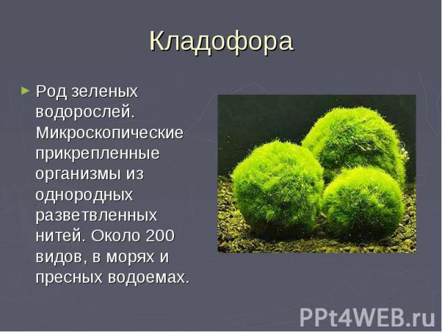 Кладофора Род зеленых водорослей. Микроскопические прикрепленные организмы из однородных разветвленных нитей. Около 200 видов, в морях и пресных водоемах.