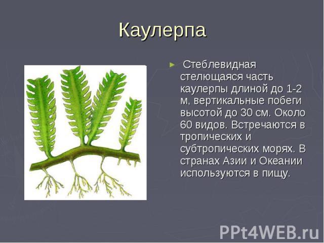 Каулерпа Стеблевидная стелющаяся часть каулерпы длиной до 1-2 м, вертикальные побеги высотой до 30 см. Около 60 видов. Встречаются в тропических и субтропических морях. В странах Азии и Океании используются в пищу.