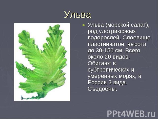 Ульва Ульва (морской салат), род улотриксовых водорослей. Слоевище пластинчатое, высота до 30-150 см. Всего около 20 видов. Обитают в субтропических и умеренных морях; в России 3 вида. Съедобны.