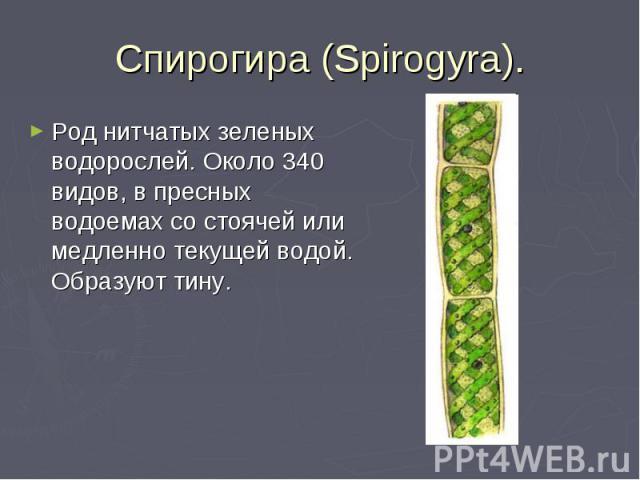 Спирогира (Spirogyra). Род нитчатых зеленых водорослей. Около 340 видов, в пресных водоемах со стоячей или медленно текущей водой. Образуют тину.