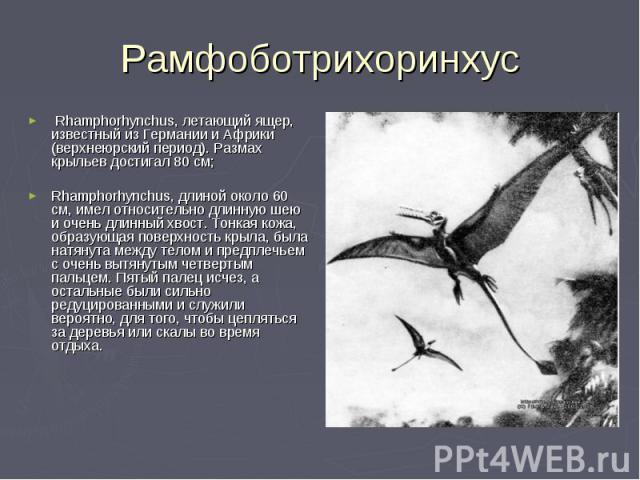 Rhamphorhynchus, летающий ящер, известный из Германии и Африки (верхнеюрский период). Размах крыльев достигал 80 см; Rhamphorhynchus, длиной около 60 см, имел относительно длинную шею и очень длинный хвост. Тонкая кожа, образующая поверхность крыла,…