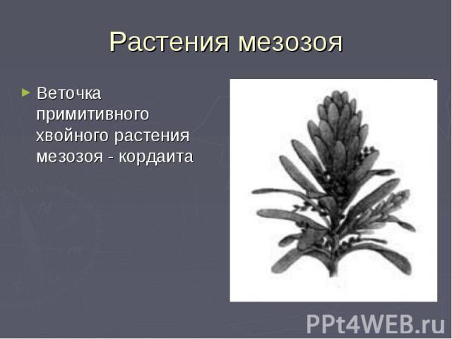 Растения мезозоя Веточка примитивного хвойного растения мезозоя - кордаита