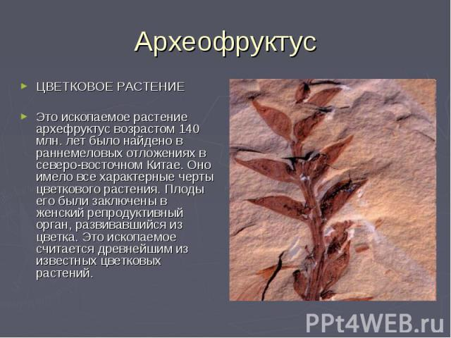 Археофруктус ЦВЕТКОВОЕ РАСТЕНИЕЭто ископаемое растение архефруктус возрастом 140 млн. лет было найдено в раннемеловых отложениях в северо-восточном Китае. Оно имело все характерные черты цветкового растения. Плоды его были заключены в женский репрод…