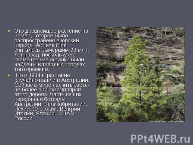 Это древнейшее растение на Земле, которое было распространено в юрский период. Wollemi Pine считалось вымершим 90 млн. лет назад, поскольку его окаменевшие останки были найдены в твердых породах того времени. Но в 1994 г. растение случайно нашли в А…
