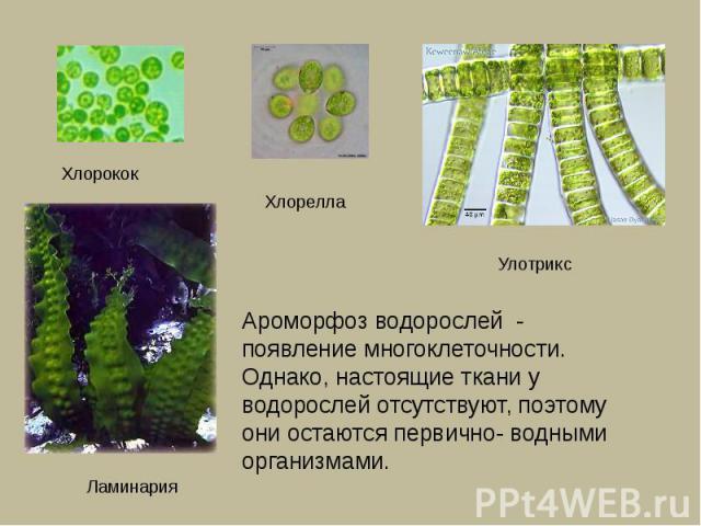 Ароморфоз водорослей - появление многоклеточности. Однако, настоящие ткани у водорослей отсутствуют, поэтому они остаются первично- водными организмами.