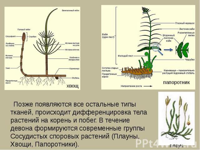 Позже появляются все остальные типы тканей, происходит дифференцировка тела растений на корень и побег. В течение девона формируются современные группы Сосудистых споровых растений (Плауны, Хвощи, Папоротники).