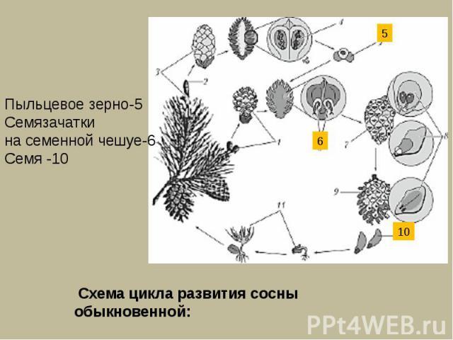 Пыльцевое зерно-5Семязачатки на семенной чешуе-6Семя -10 Схема цикла развития сосны обыкновенной: