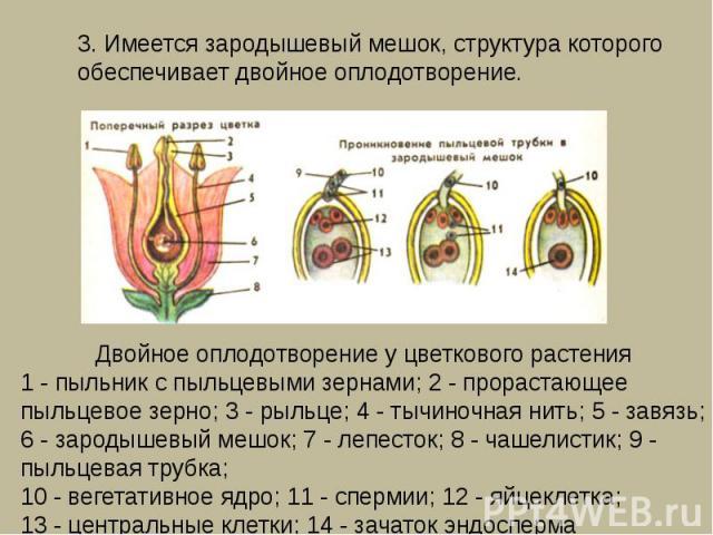 3. Имеется зародышевый мешок, структура которого обеспечивает двойное оплодотворение. Двойное оплодотворение у цветкового растения1 - пыльник с пыльцевыми зернами; 2 - прорастающее пыльцевое зерно; 3 - рыльце; 4 - тычиночная нить; 5 - завязь; 6 - за…