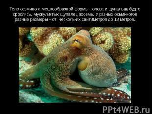 Тело осьминога мешкообразной формы, голова и щупальца будто срослись. Мускулисты