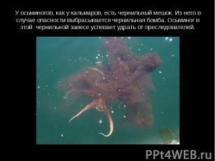 У осьминогов, как у кальмаров, есть чернильный мешок. Из него в случае опасности