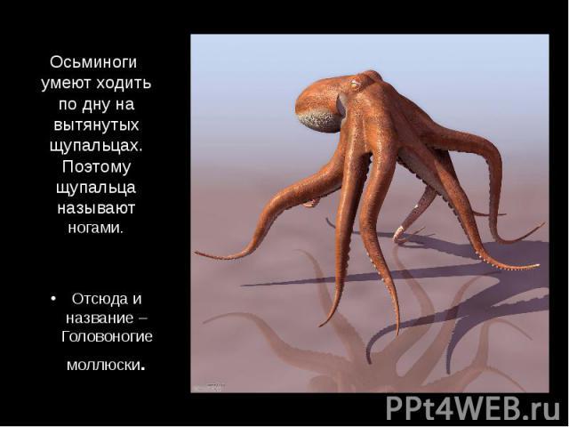 Осьминоги умеют ходить по дну на вытянутых щупальцах. Поэтому щупальца называют ногами. Отсюда и название – Головоногие моллюски.