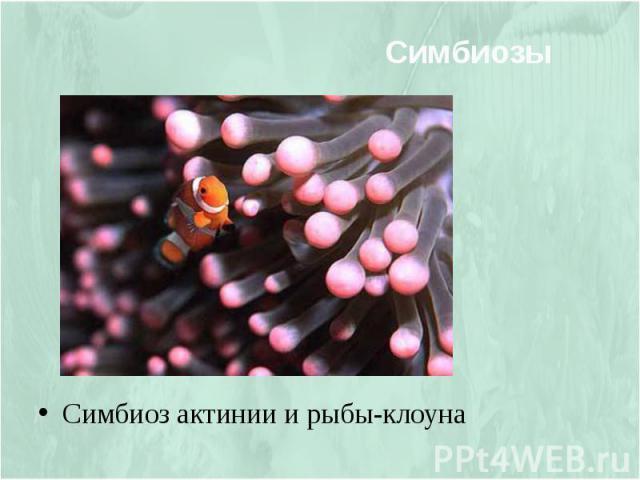 Симбиоз Симбиоз актинии и рыбы-клоуна