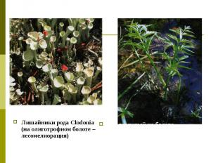 Лишайники рода Clodonia (на олиготрофном болоте – лесомелиорация)