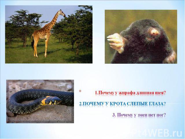 1.Почему у жирафа длинная шея? 2.ПОЧЕМУ У КРОТА СЛЕПЫЕ ГЛАЗА? 3. Почему у змеи нет ног?
